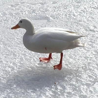 valkoinen sorsa jäällä