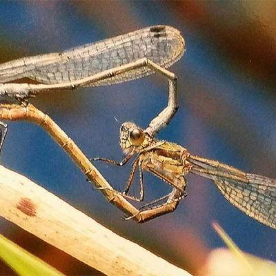 Lähikuva parittelevista sudenkorennoista.