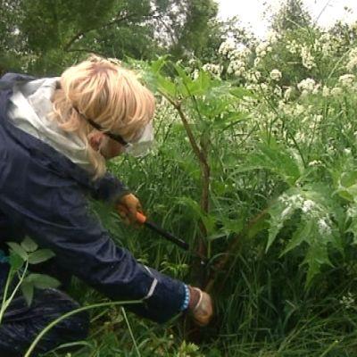 Nainen katkaisee oksasaksilla jättiputken vartta.