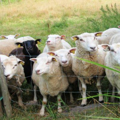 Lampaita voi paimentaa muun muassa Isojärven kansallispuistossa Kuhmoisissa.