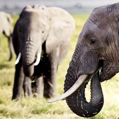 Afrikannorsuja kuvattuna Kenialaisessa luonnonpuistossa