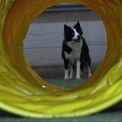 Koira katsoo agility-esteputken läpi