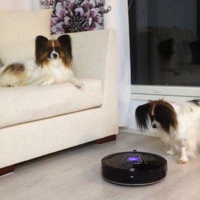 Kaksi koiraa ja robotti-imuri.