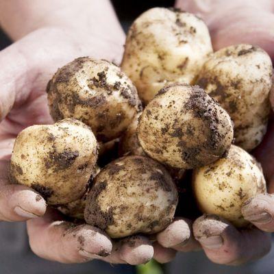 """Varhaisperunasatoa maanviljelijän käsissä. """"Tutkimuksen mukaan täysin kotimaisia elintarvikkeita ei ole, koska ruoan valmistus vaatii aina jotakin ulkomailta tuotua."""""""