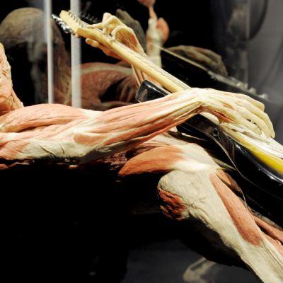 Kitaraa soittavan ihmisen anatomiaa esillä Body Worlds -näyttelyssä Heurekassa.