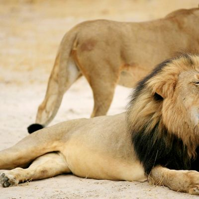 Cecil-leijona.