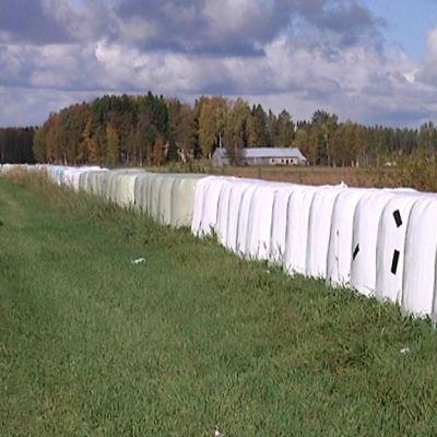Kuvassa muovisia heinäpaaleja Kannuksen Särkiojan pellolta.
