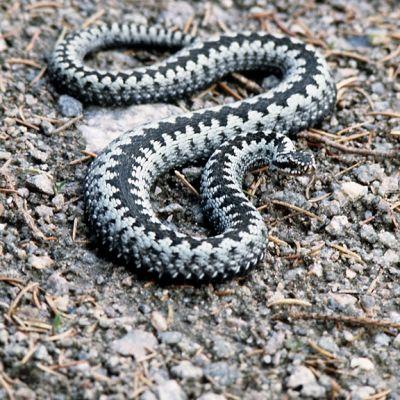 Kyykäärme maassa.