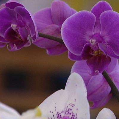 Orkidean kukkia.