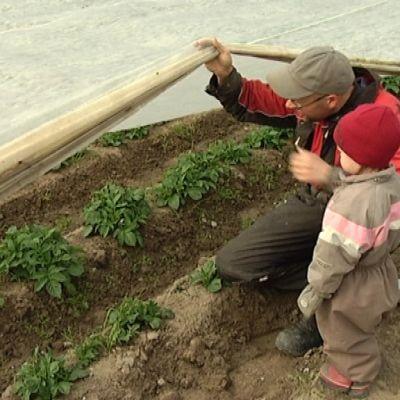 Viljelijä on huolissaan perunan kasvuvauhdista.