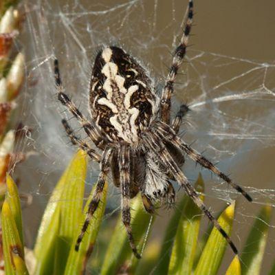 Rämeristihämähäkki.