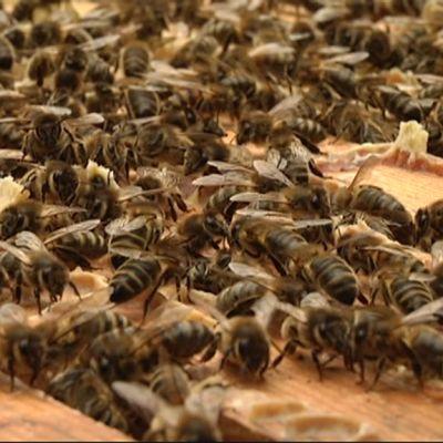 Mustia mehiläisiä