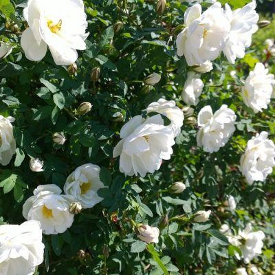 Juhannusruusut ovat täydessä kukassa Turun Mälikkälässä jo kesäkuun alkupäivinä.