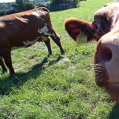 Lehmä