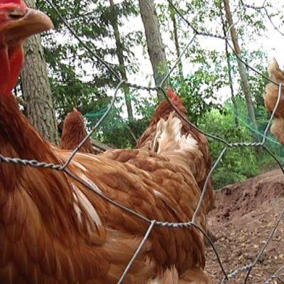 Kana katsoo verkon takaa