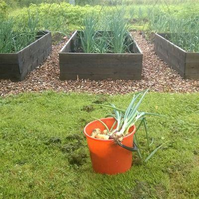 Kasvimaa, etualalla oranssi ämpäri, jossa on sipuleita. Taustalla tummia kasvatuslaatikoita ja vihreää kasvustoa.