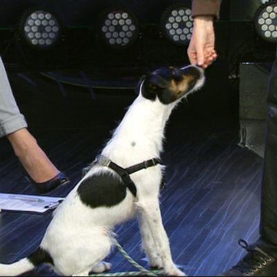 Eläintenkouluttaja Miira Hellsten Kokoos-koiransa kanssa aamu-tv:ssä 16. syyskuuta 2015.