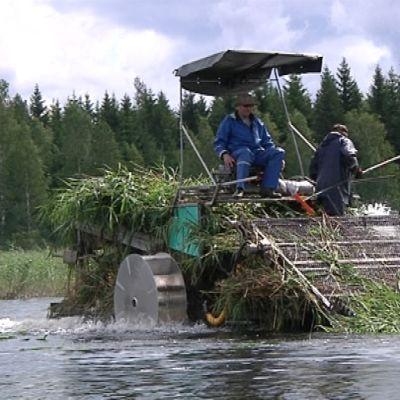Kaksi miestä järviruokoa niittävän koneen kyydissä.