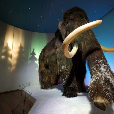 Häkä-mammutti Kuopion luonnontieteellisessä museossa.