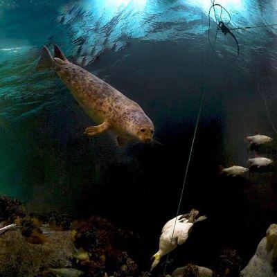 Norppa veden alla, jossa lintu ja kaloja