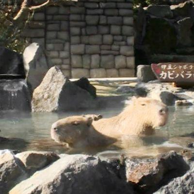 Kapybarat kylpevät kuumassa lähteessä.