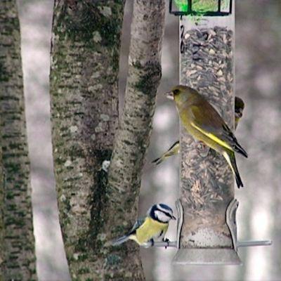 Keltasirkkuja lintulaudalla syömässä.