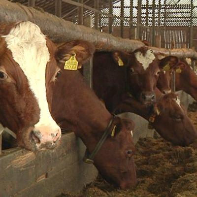 Kuvassa kälviäläisen maatilan lehmiä.