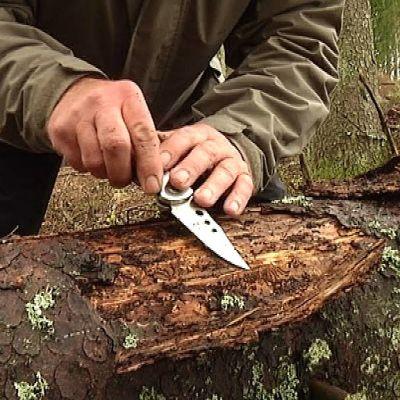 Kirjanpainaja-kuoriaisen jälkiä puun rungossa