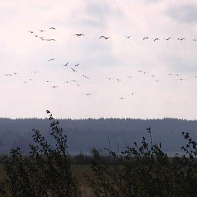 Söderfjärdenillä mitattiin kaikkien aikojen kurkiennätys syksyllä 2014 - 8174 lintua.