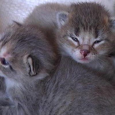 Kahdeksan päivän ikäisiä kissanpentuja.