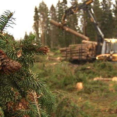 Metsätyökone kerää tukkeja metsästä