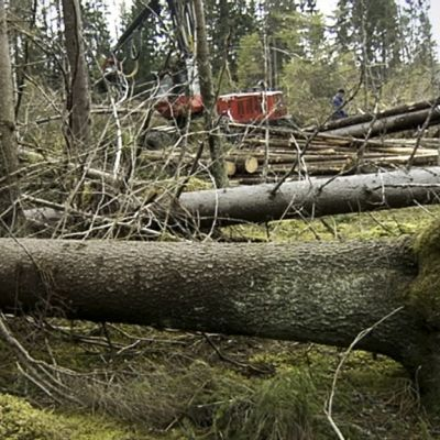 Juurineen kaatunut puu