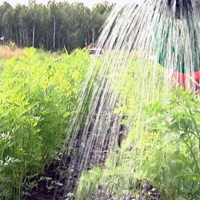 Porkkanaviljelmää kastellaan