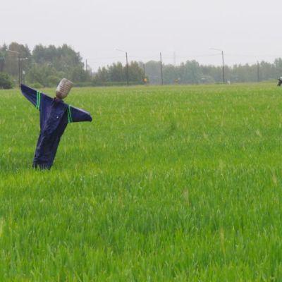 Kaksi haalareihin puettua linnunpelätintä pellolla