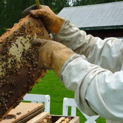 Mehiläiskehä tarkastelussa