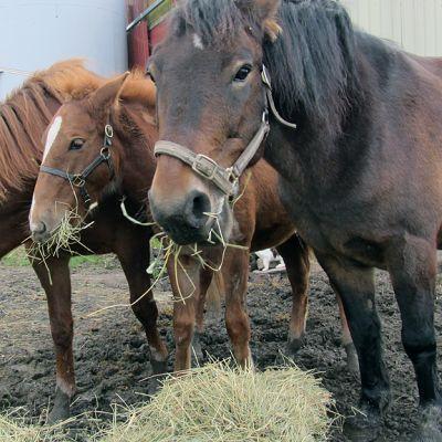 Hevoset syövät heinää.