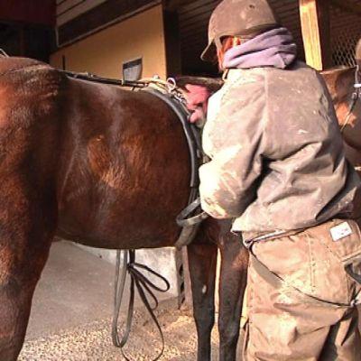 Nainen riisuu hevosta valjaista.