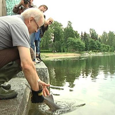 Kalastusmestari Esko Pekkarinen laittaa sammen veteen