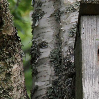 Kuvassa lintu viemässä matoa pönttöön.