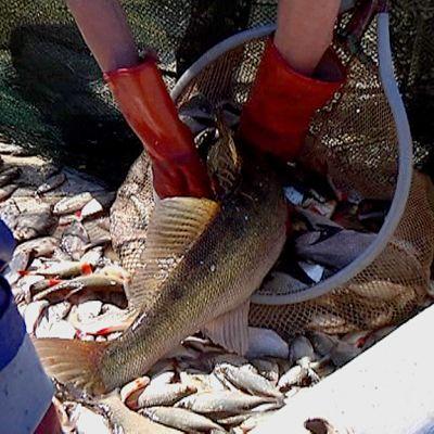 Poistokalastusta Haapajärvellä