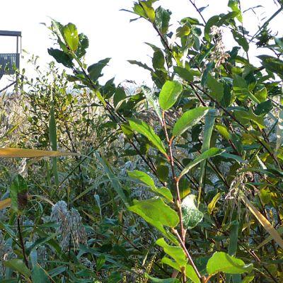 Kuvassa Kokkolan Rummelön lintutorni. Etualalla näkyy pitkää rantaheinää ja pajukkoa.