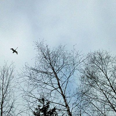 Joutsen lentää taivaalla huhtikuussa 2014.