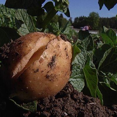 Kasvuhalkeama perunassa.
