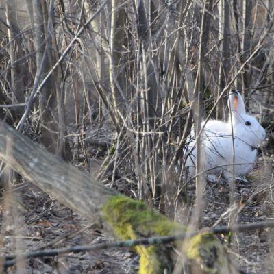 Metsäjänikselle laitettu gps - seurantapanta antaa monenlaista tietoa jäniksen käyttäytynisestä