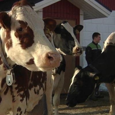 Lehmä; Kannialan tila; satatonnari