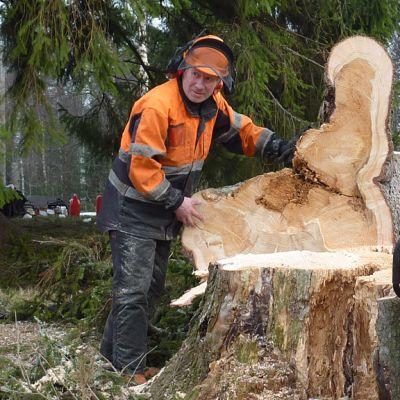 Metsuri Tuomo Piesanen kaatoi Uuraisilla vanhan puun.