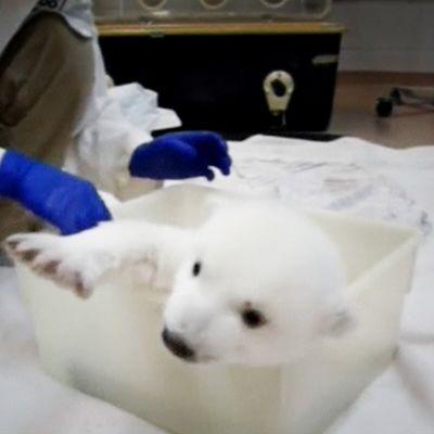 Jääkarhunpentua kylvetetään kanadalaisessa eläintarhassa Torontossa.