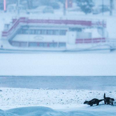 Saukot Kemijoen sulan liepeillä Rovaniemellä