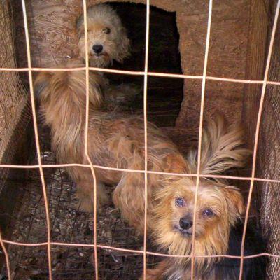 Koiria virolaisessa pentutehtaassa.