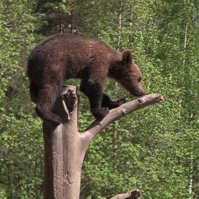 Pikkukarhu kiipeilee heti kun pääsee pesästä ulos.